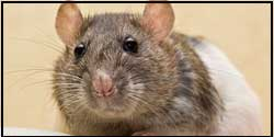 Rodent Removal Woodbridge